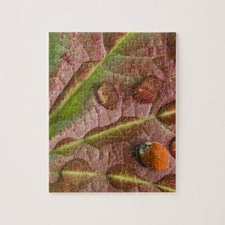 Ladybug on dewy maple leaf. Credit as: Don Jigsaw Puzzle
