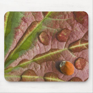 Ladybug on dewy maple leaf. Credit as: Don Mouse Mat
