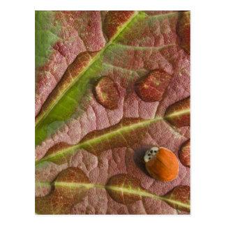 Ladybug on dewy maple leaf. Credit as: Don Postcard