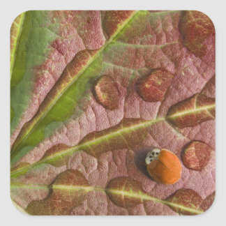 Ladybug on dewy maple leaf. Credit as: Don Square Sticker