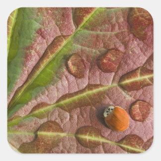 Ladybug on dewy maple leaf. Credit as: Don Square Sticker