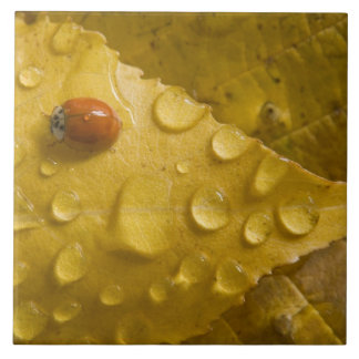 Ladybug on fall-colored leaf. Credit as: Don Large Square Tile
