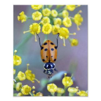 Ladybug on Fennel Flower Photographic Print