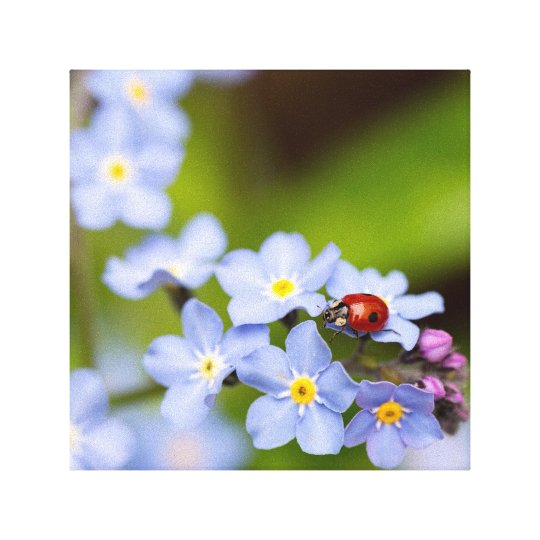 Ladybug on Forget-me-not Canvas Print