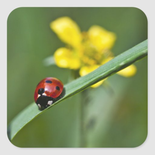 Ladybug on Grass close up Square Sticker