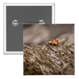 Ladybug on old wood, Apalachicola Bluffs and 15 Cm Square Badge