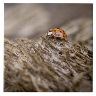 Ladybug on old wood, Apalachicola Bluffs and Large Square Tile