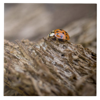 Ladybug on old wood, Apalachicola Bluffs and Tile