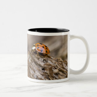 Ladybug on old wood, Apalachicola Bluffs and Two-Tone Coffee Mug