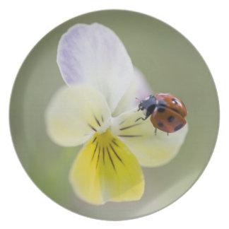 Ladybug on pansy, Biei, Hokkaido, Japan Plate