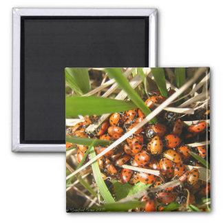 Ladybugs (Coccinellidae) Magnet