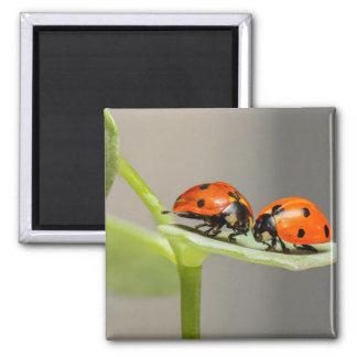 Ladybugs on a Leaf Magnet