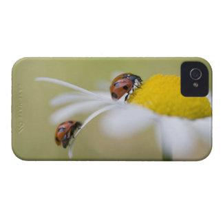 Ladybugs on an oxeye daisy, Biei, Hokkaido, Case-Mate iPhone 4 Cases