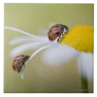 Ladybugs on an oxeye daisy, Biei, Hokkaido, Large Square Tile