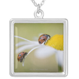 Ladybugs on an oxeye daisy, Biei, Hokkaido, Silver Plated Necklace