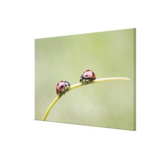 Ladybugs on stem, Biei, Hokkaido, Japan Canvas Print