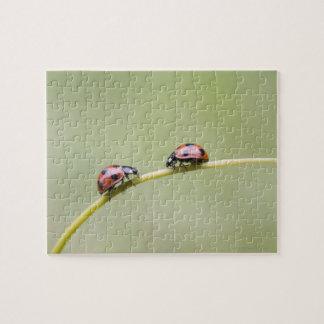 Ladybugs on stem, Biei, Hokkaido, Japan Puzzles