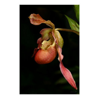 Lady's-Slipper Orchid Art Poster -40x60-or smaller
