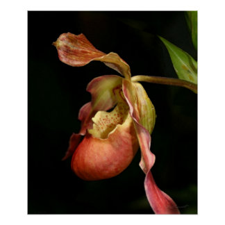 Lady's-Slipper Orchid Art Print -20x24 -or smaller