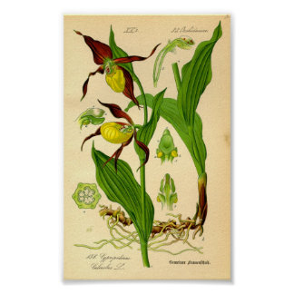 Lady's Slipper Orchid (Cypripedium calceolus) Poster