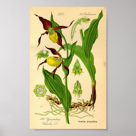 Lady's Slipper Orchid (Cypripedium calceolus) Poster
