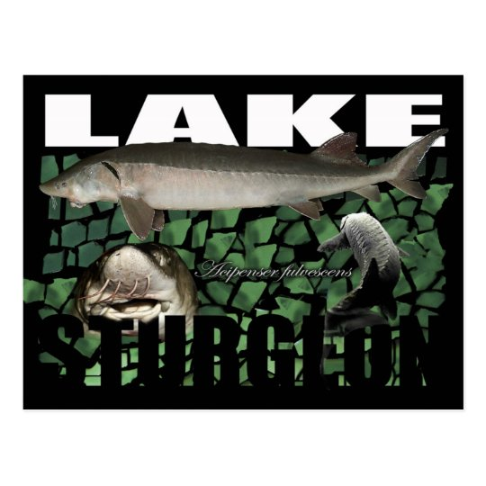 Lake Sturgeon-Collage-Postcard Postcard