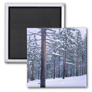 LAKE TAHOE STATE PARK, NEVADA. USA. Fresh snow Square Magnet