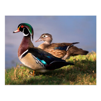 Lakeside, Wood Duck Post Cards