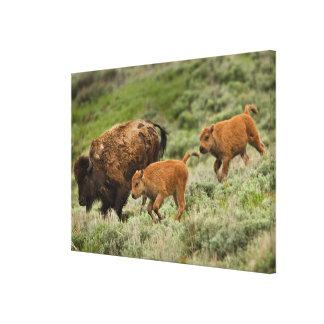 Lamar Valley Mini Stampede Canvas Print