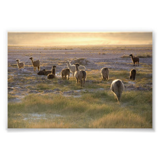 Lamas in the Sunset Photograph