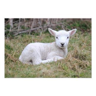 Lamb at rest photo