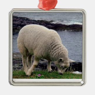 Lamb on remote wild south Devon coastline Christmas Ornament