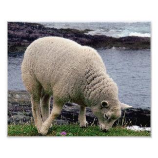 Lamb on remote wild south Devon coastline Photo