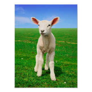 Lamb on the meadow poster