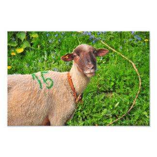 Lamb Photograph