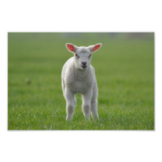 lamb photo print