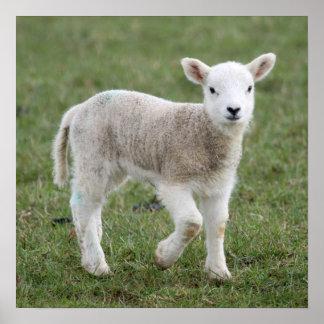 Lamb Posters
