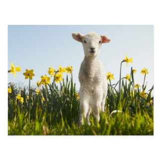 Lamb walking in field of flowers postcard