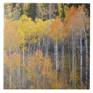 Lambert Hollow, aspen trees 3 Tile
