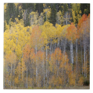Lambert Hollow, aspen trees 4 Tile
