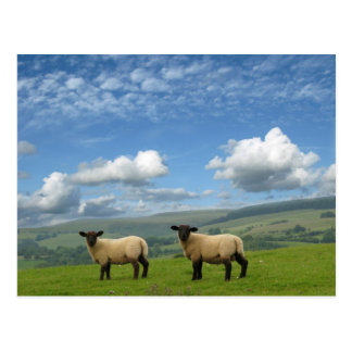 Lambs Postcard
