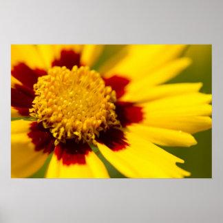 Lance-Leaved Tickseed Flower Poster