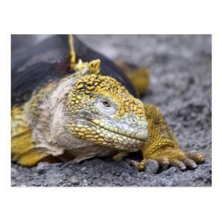 Land Iguana Postcard