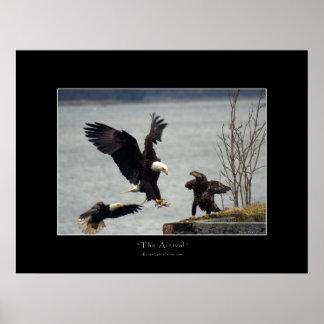 LANDING BALD EAGLE Photo Poster