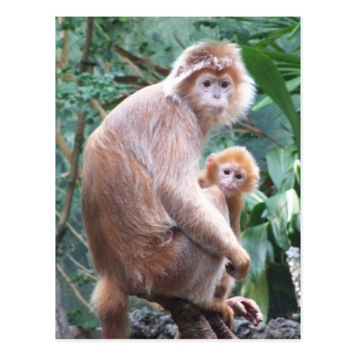 Langur Monkey Mother & Baby Post Cards