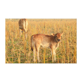 Laos, Vang Vieng. Calf in field Canvas Print