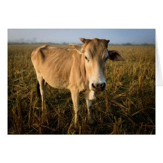Laos, Vang Vieng. Wide angle cow portrait Card