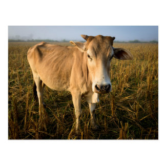 Laos, Vang Vieng. Wide angle cow portrait Postcard