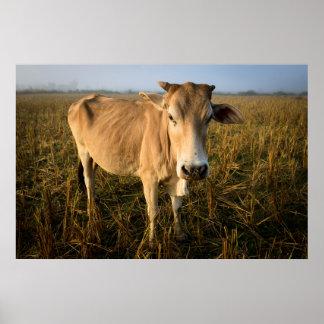 Laos, Vang Vieng. Wide angle cow portrait Poster