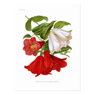 Lapageria rosea.(Chilean bellflower) Post Cards